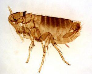 Flea, close up image